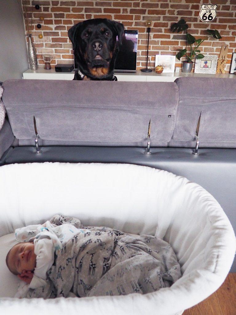 rottweiler i niemowlak